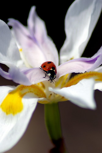 Ladybug At Work with Tamron 70-300mm f/4.0-5.6 Di LD Macro 2:1