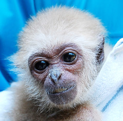 White handed gibbon monkey (floridapfe) Tags: baby cute eye animal zoo monkey nikon looking korea everland  d80 whitehandedgibbonmonkey