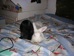 DSCN4704 (delilah84) Tags: bunnies animals guinea pig cavy rabbits animaux rodents fritz animali aku suria ronja conigli porcellino lapins cavia lagomorphs rongeurs roditori peruviano lagomorfi
