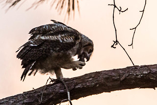 IMG_9546 Great Horned Owlet and Food Pellet