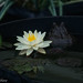 Water Lily and resident of lily pond