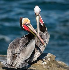 Mating Season (Waldemar*) Tags: usa westcoast california sandiego lajolla thecove pacificocean pacificcoast pelicans pelecanusoccidentalis brownpelican birds matingplumage matingseason