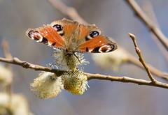 Mariposa Pavo Real (Antramir) Tags: real mariposa pavo inachisio zd50200swd vosplusbellesphotos