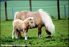 Dunning Shetland Pony and Foal (Dysartian) Tags: baby nature niceshot farm explore fawn 1001nights farmanimals mane shetlandpony foal perthandkinross dunning kinrossshire abigfave dysartian millhousefarm photographybydysartian howiesofdunning amhowie