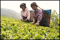 picking more and more tea leaves. (tojeto) Tags: india tea darjeeling teapicking teepflückerinnen
