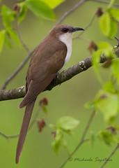 _53F5896 Black-billed Cuckoo (~ Michaela Sagatova ~) Tags: bird nature fauna dundas birdphotography blackbilledcuckoo coccyzuserythropthalmus dvca birdperfect michaelasagatova