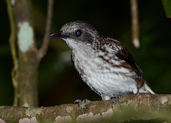Visayan Rhabdornis-Rhabdornis rabori (Bram Demeulemeester - Birdguiding Philippines) Tags: philippines bramdemeulemeester birdguidingphilippines visayanrhabdornis birdingtoursphilippines