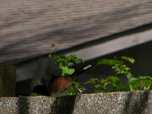 Spotted towhee takes flight