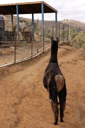 Lama Guarding
