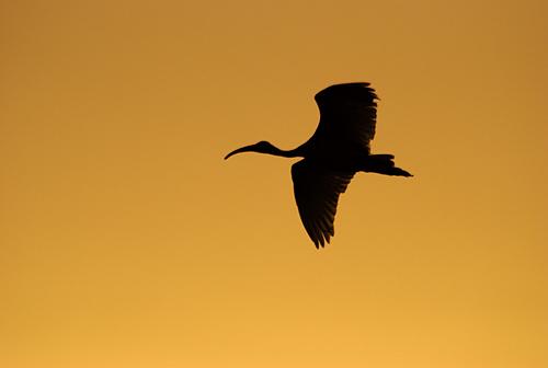 ibis @ dusk