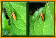 Pretty orange insect on hydrangea leaf, captured September 25, 2007