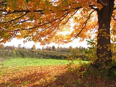 Autumn vineyard in Harpersfield Ohio