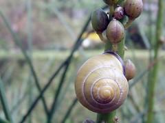 camouflage snails (pixiespark) Tags: nature bokeh natur snail camouflage schnecke tarnung fiveflickrfavs 5flickrfavs