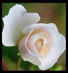 pink tinged rose