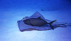 Companions (icelight) Tags: fish ray underwater scuba diving littlecayman commensalism