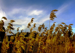 Reed and sky (Per Ola Wiberg ~ Powi) Tags: sky reed nature oneaday sweden oneofakind sverige shiningstar pictureperfect 2007 tup musictomyeyes naturescenes aclass peopleschoice naturegroup naturesfinest vass blueribbonwinner supershot eker foreveryone 10faves favorites10 flickrsbest tappstrm 20commentsandup platinumphoto anawesomeshot diamondclassphotographer flickrdiamond theothervillage theunforgetablepictures eperke onlynatureaward exemplaryshotsflickrsbestgroup