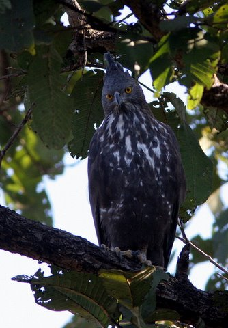 changeable (crested) hawk eagle look 2412