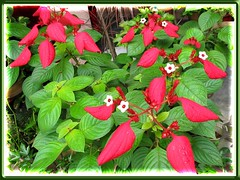 Mussaenda erythrophylla 'Ashanti Blood' with its Christmas colors of red and green in our garden