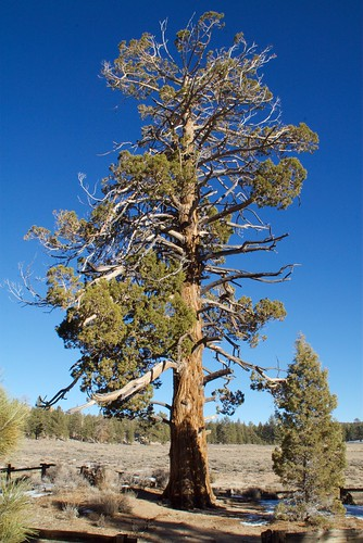 california tree history forest dead death gold kevin down rush toyota fj hang cruiser prospector goldrush bigbear hanged miners gallows sanbernardino stanchfield holcombvalley kevitivity kevitivitycom