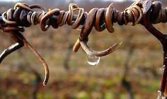 vrilles (-CyRiL-) Tags: france hiver lot droplet vigne goutte détail quercy midipyrénées blueribbonwinner vrilles cyrilbklfav cyrilbkl departementdulot