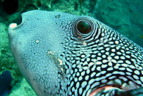 Bluespotted Puffer at Similan Islands