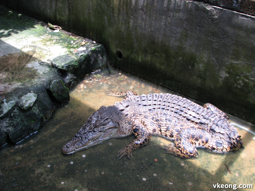 tailless crocodile