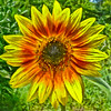 Red sunflower (judy_n) Tags: flowers usa texas searchthebest sunflower fredericksburg top20everlasting top20texas likhangsining
