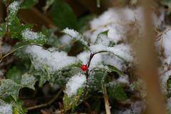 雪の中のヤブコウジ