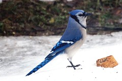Bird - Blue Jay Photo (blmiers2) Tags: blue winter snow newyork bird nature beautiful birds nikon jay wildlife birding bluejay bluejays avian cyanocittacristata jaybird wildbirds passeriformes corvidae jaybirds backyardbirds birdphoto bluejaybird bluejaybirds natureinwinter d40x bluejayphotos bluejayphoto bluejaypictures birdjay bluejaysbirds picturesbirds wildjay blm18 blmiers2