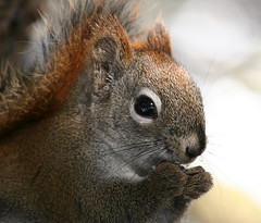 Up Close and Personal (deerluvr) Tags: ontario canada muskoka soe inmybackyard redsquirrel upcloseandpersonal naturesfinest mywinners theperfectphotographer