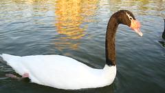 (Carlos Andrs Restrepo) Tags: chile park parque santiago lake black bird swan negro carlos ave laguna cisne cuello vitacura cignes restrepo bicentenario taxonomy:binomial=cygnusmelancoryphus
