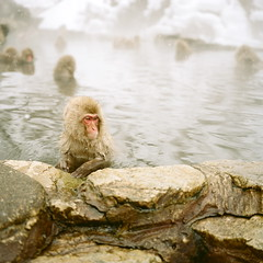 038 |  (Okano Yasushi) Tags: winter snow cold 120 6x6 mamiya film water animal rock japan analog mediumformat square monkey bath dof kodak steam spa portra snowmonkey 75mm portra160nc iso160 newmamiya6 specanimal abigfave awardflickrbest