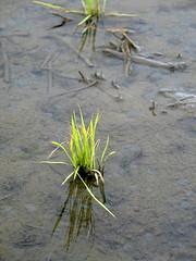 農夫直購稻田 秧苗忍過冬