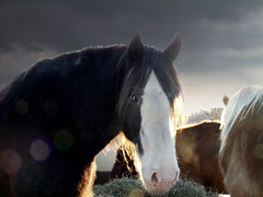 Blue Love (maggiedeephotographer) Tags: sunset horses horse love beautiful lovely clydesdale chevaux peopleschoice naturesfinest anawesomeshot maggiedeephotographer cavallobeauty