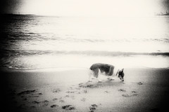 faded memory (moaan) Tags: dog film still corgi quiet walk calm lomolca silence smell memory ripples remembrance welshcorgi 2008 stroll footprint tranquil ashiya thebeach hyogo lull  retrace  wavelets recollections pochiko  ashiyahama gettyimagesjapanq1 gettyimagesjapanq2