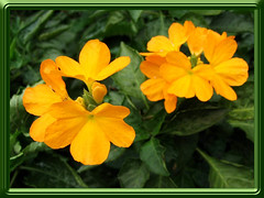 Crossandra infundibuliformis 'Lutea' (Yellow Crossandra)