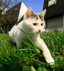 Exploring the garden (baloochester(more than slow)) Tags: cat chat chester purrfect kissablekat kittyschoice superbmasterpiece baloochester