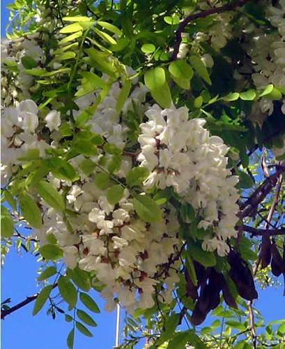 Robinea pseudoacacia