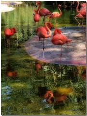 Tablao (SantiMB.Photos) Tags: barcelona españa bird animal reflections zoo spain searchthebest flamingo ave catalunya reflexions phoenicopterusruber soe flamenco orton reflejos pájaro naturesfinest phoenicopterus supershot passionphotography mywinners abigfave theloveshack incrediblenature superlativas colourartaward betterthangood theperfectphotographer goldstaraward flickrlovers
