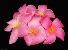 Pink Champa (Plumerias) (Photo Plus 1 (Kamran Ahmed)) Tags: pink pakistan red black flower rose yellow kamran kam karachi ahmed soe champa a2z platinumphoto anawesomeshot diamondclassphotographer goldstaraward flickrlovers