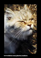Cute Cat (SanforaQ8) Tags: cute cat photographer free finepix kuwait s5pro sanfora