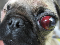 head trauma (kjr558) Tags: dog eye vet pug surgery bite trauma veterinary bitewound
