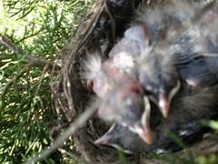 Baby Birds May 13