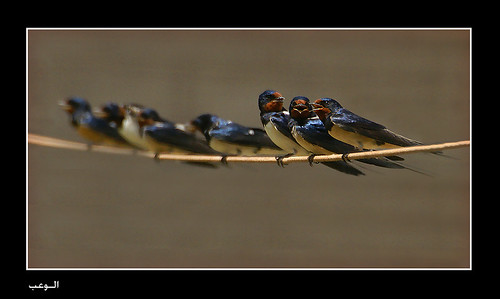 Birds Barn Swallows on the line to take a relaxing after a long  day. da ‏الوعب - Al wab‎.