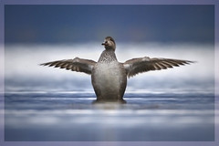 The Redeemer (hvhe1) Tags: bird nature animal iceland duck bravo wildlife vision waterfowl myvatn redeemer barrowsgoldeneye naturesfinest bucephalaislandica supershot specanimal supershots hvhe1 hennievanheerden avianexcellence ijslandsebrilduiker
