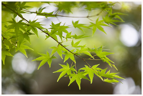 Jindai leaves
