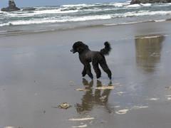 (Foxxy & Baldr) Tags: or cannonbeach haystackrock standardpoodle baldr ppmay0912 52weeksfordogs18
