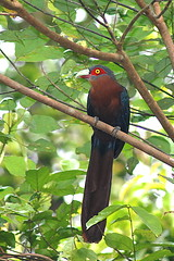DSC_9591 Chestnut-Breasted Malkoha (Tiomanese) Tags: bird malaysia 050709 avianfauna pantiforest