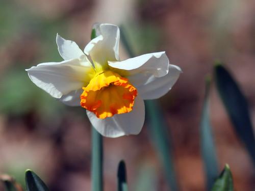 Daffodil 2-20100409