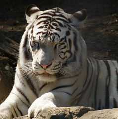 Saturday - a perfect day for a cat nap (seeit_snapit) Tags: cat zoo feline nap tiger cutekitty aplusphoto